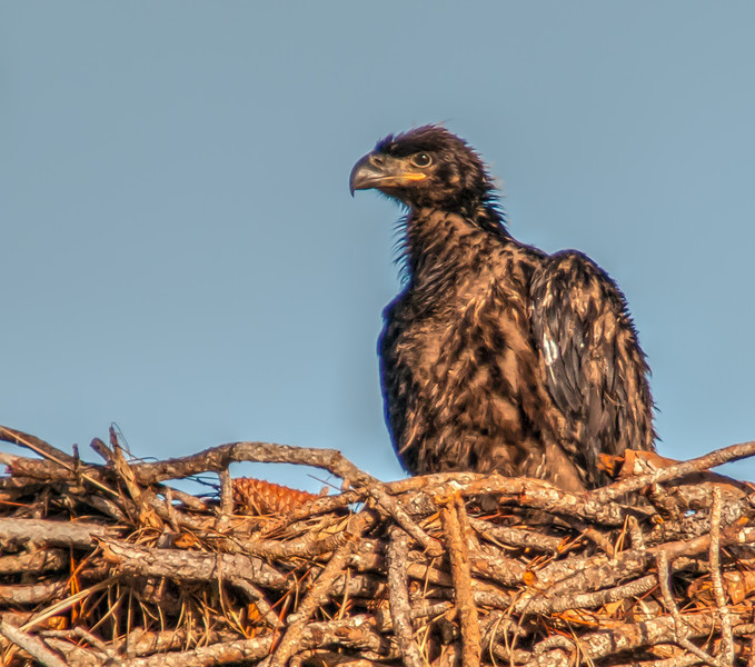 I estimate this Eaglet is about 4 weeks old.