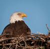 Different views of the Bald Eagle sitting in its nest