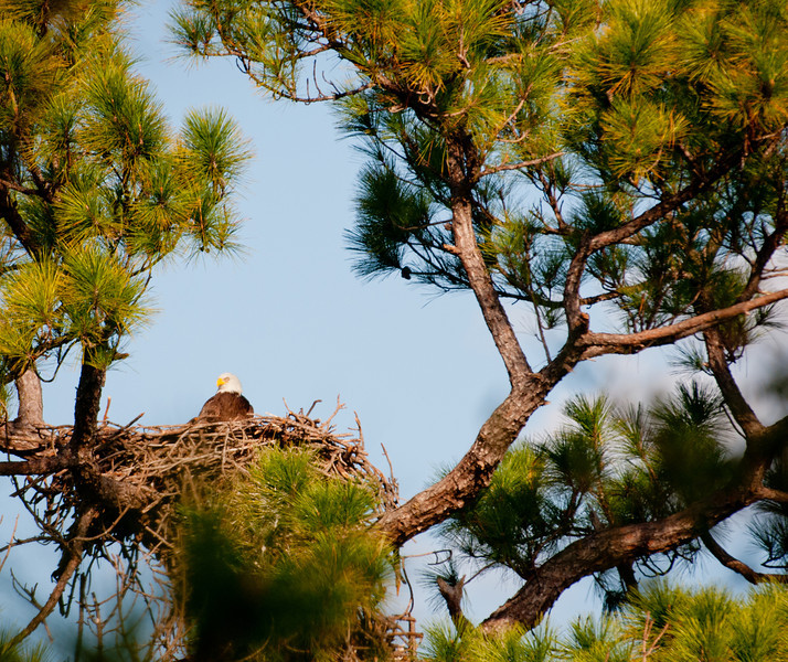 Full view of the Melbourne, Florida Eagle's nest