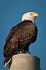 The other Eagle sitting on the power pole across from its nest.