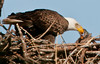 On of the parent Eagle's feeding their chick.