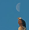 • The Chicks are almost 6 weeks old now.<br /> • Actually I captured the moon over the Eagle, but it was out of focus.  I took the liberty of taking another photo of just the moon and blending it into this image.