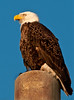 • The Chicks are almost 6 weeks old now.<br /> • As you can see the Bald Eagle is a very majestic bird.