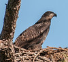 These photos of the Melbourne's nest was taken on 3/5/2013