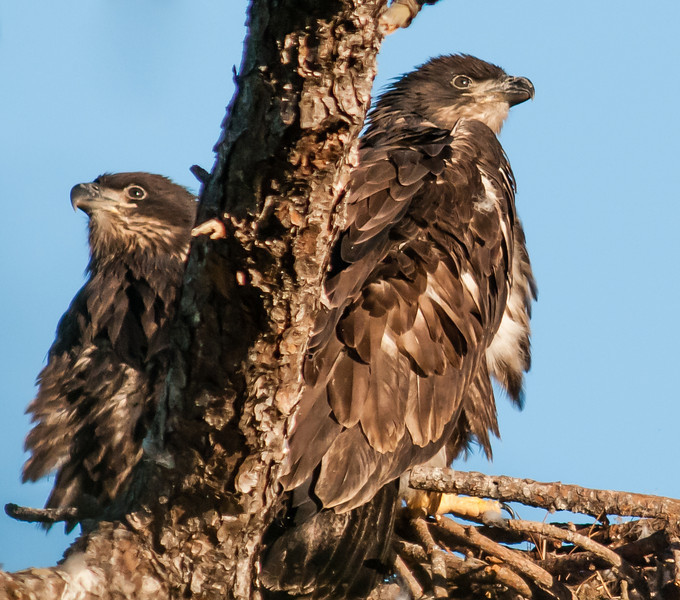 • Melbourne Eagle's Nest<br /> • Both Eaglets are watching for their parents to come in with some breakfast.