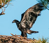 • Melbourne Eagle's Nest<br /> • One of the Eaglets showing off its wings