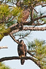 Just us two Eaglets hanging around in the tree.  If you look hard there is one on the top.