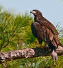 15 week old Eaglet just hanging close by to their nest.