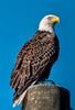 • Bald Eagle<br /> • Post HDR
