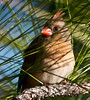 Female Northern Cardinal who is trying to hide from me behind some pine needles.