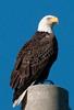 • Bald Eagle<br /> • Pre HDR