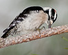 • Downy Woodpecker<br /> • I saw the Woodpecker in front of Eagle's nest and was less than 10 feet from me.