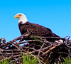 • Palm Bay Eagle's Nest<br /> • One of the parents sitting on the nest
