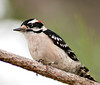 • Downy Woodpecker<br /> • I saw the Woodpecker front of Eagle's nest and was less than 10 feet from me.
