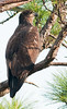 This Eaglet is on branch on the right side of nest.
