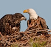 Look how big the Eaglet is as compared to its parent.