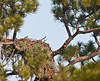 A total view of the Eagle's nest in Palm Bay, FL  Both Eaglets are deep down into their nest