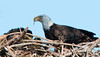 The parent Eagle is ripping the fish apart to feed to its Eaglets.