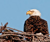 The parent Eagle is just keeping an eye on whats going on behind her.