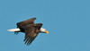Bald Eagle flight image