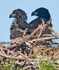 • Palm Bay Eagle's Nest<br /> • This is a very loving Eaglet couple