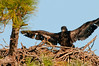 • Palm Bay Eagle's Nest<br /> • Their wing span is greater than what I can capture in a single frame with my Telephoto lens