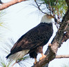 • Palm Bay Eagle's Nest<br /> • This is Mom setting on the right side of the nest.