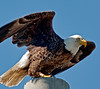 • Palm Bay Eagle's Nest<br /> • And off he goes to another power pole