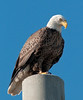 • Palm Bay Eagle's Nest<br /> • We saw this Eagle setting on the Power Pole near our car and he saw us too.