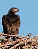 • Palm Bay Eagle's Nest<br /> • I'm really getting big for a 4-5 week old Eaglet