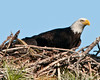 • Palm Bay Eagle's Nest<br /> • One of parents returned to nest to check on the Eaglets.
