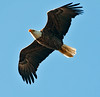 Adult Eagle in flight around the nest.