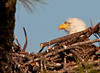 Adult Eagle sitting down in the nest