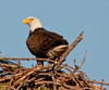 Adult Eagle is sitting on top of nest keeping an eye for predators
