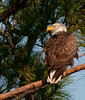 An adult Eagle sitting on a branch to the right of nest