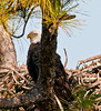An adult Eagle sitting on a branch to the left of the nest