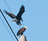 I never saw this behavior before with 2 adult Eagles.