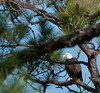 The Adult Eagle was about 25 yards east of nest and way back in the woods.