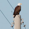 Mom is sitting on a power pole west of the nests.  She has a Mocking Bird keeping her company.