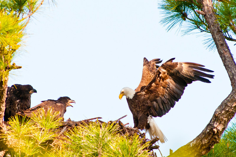 The parent is coming in to help feed the Eaglets