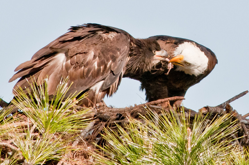 One of the parents is tearing up the fish and feeding the Eaglet