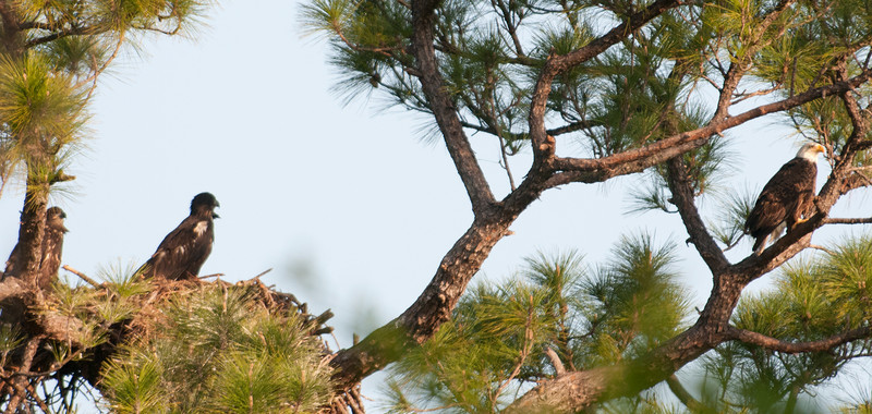One of the parents is keeping an eye of the Eaglets on a branch near the Eagle's Nest.