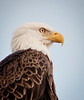 Just a nice portrait of a Bald Eagle