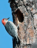 Palm Bay Eagle's Nest - I just located a male Red-bellied Woodpecker who is excavating there new nest.