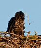 Palm Bay Eagle's Nest - The end of the Eagle photos for today