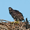 Palm Bay Eagle's Nest - Look how big I'm getting!