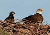Palm Bay Eagle's Nest - A parent and one of the Eaglets