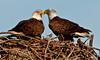 Palm Bay Eagle's Nest - Proud parents of Eaglets