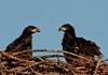 Palm Bay Eagle's Nest - A face off