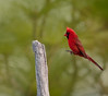 Male Northern Cardinal in the process of landing on dead branch